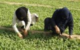 مقام اول استانداردسازی محصولات کشاورزی به زنان کردستان رسید